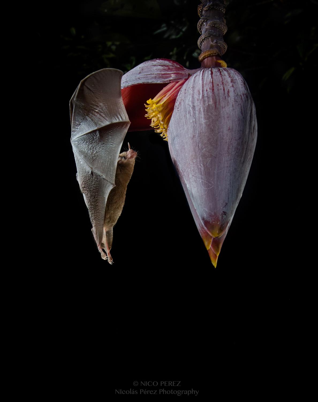 Murciélago nectívoro Glossophaga Soricina , Costa Rica, Nico Perez Photography,